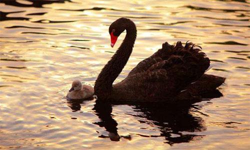 摄影灵感:从发现黑天鹅之美,到高端蛋糕黑天鹅